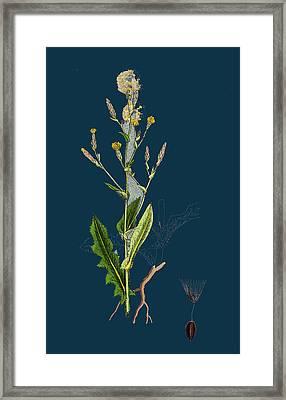 Lactuca Scariola Prickly Lettuce Framed Print by English School