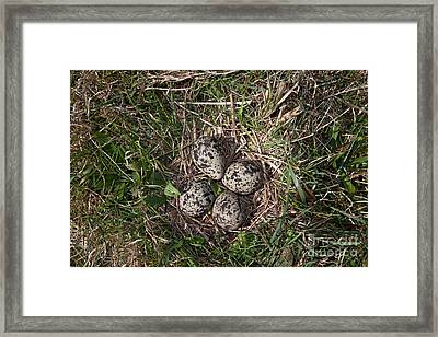 Lapwing Nest Framed Print by Marcus Bosch