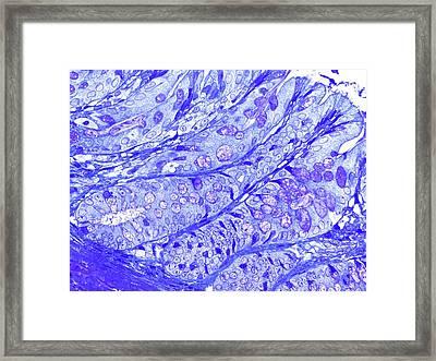 Large Bowel Glands Framed Print by Microscape