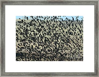 Large Flock Of Blackbirds And Cowbirds Framed Print by Mark Newman