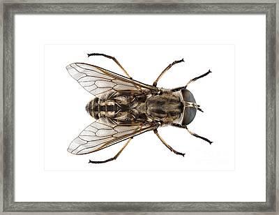 Large Marsh Horsefly Species Tabanus Autumnalis Framed Print by Pablo Romero
