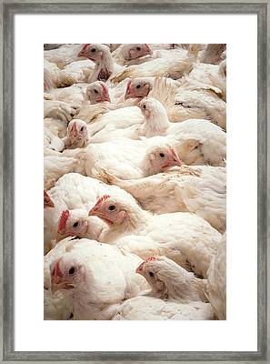 Large Number Of Hens In A Barn Framed Print