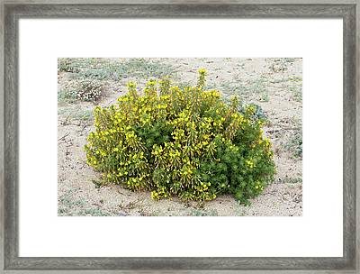 Large Yellow Restharrow (ononis Natrix) Framed Print
