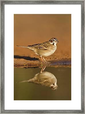 Lark Sparrow (chondestes Grammacus Framed Print