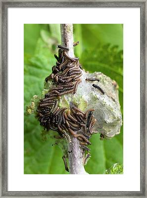 Larvae Of The Peacock Butterfly Framed Print by Dr Jeremy Burgess
