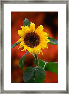 Last Sunflower Framed Print