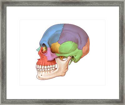 Lateral Skull, Illustration Framed Print