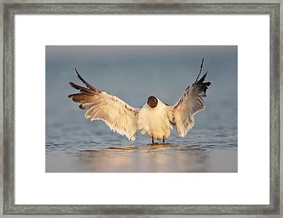 Laughing Gull (larus Atricilla Framed Print