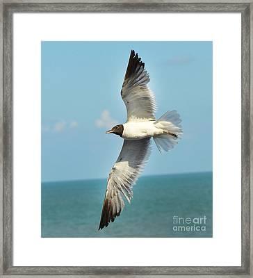 Laughing Gull Framed Print by Stuart Mcdaniel
