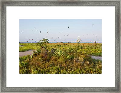 Laughing Gulls (larus Atricilla Framed Print