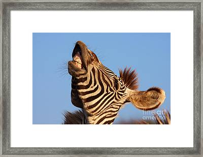 Framed Print featuring the photograph Laughing Zebra by Nick  Biemans