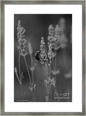 Lavender And The Bee Framed Print