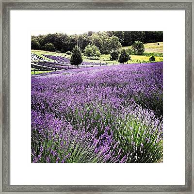 Lavender Farm Landscape Framed Print by Christy Beckwith