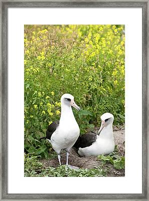 Laysan Albatross (phoebastria Framed Print