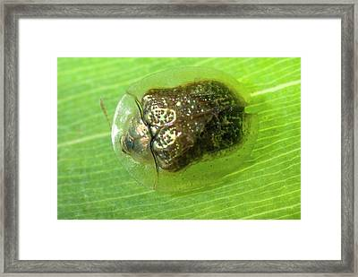 Leaf Beetle Framed Print by Philippe Psaila/science Photo Library