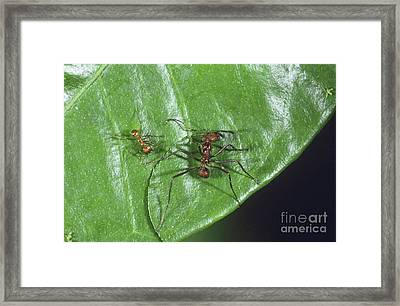 Leaf-cutter Ants Framed Print