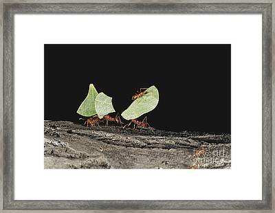 Leaf-cutting Ants Framed Print