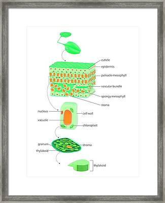 Leaf To Chloroplast Framed Print by Science Photo Library
