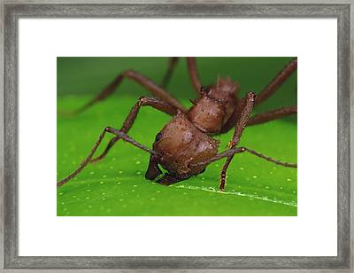 Leafcutter Ant Cutting Papaya Leaf Framed Print