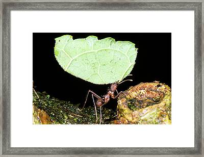 Leafcutter Ant Framed Print by Dr Morley Read