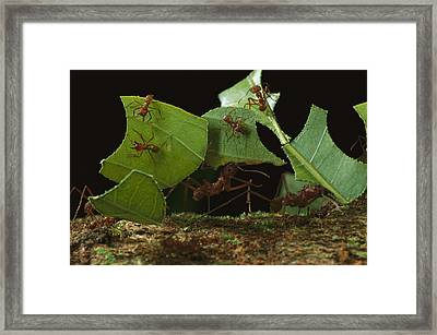 Leafcutter Ants Carrying Leaves French Framed Print