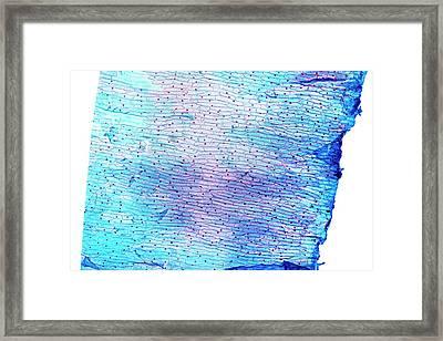 Leek Skin (allium Porrum) Framed Print