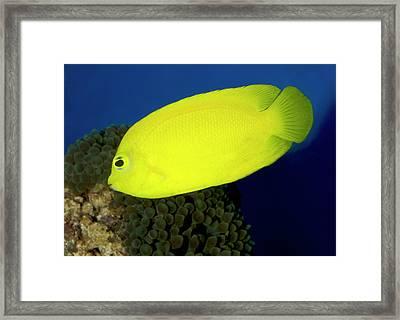 Lemonpeel Angelfish Framed Print