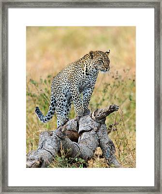 Leopard Panthera Pardus Climbing Framed Print by Panoramic Images