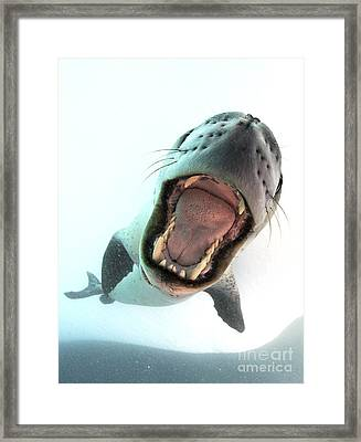 Leopard Seal Mouthing Its Own Framed Print by Steve Jones