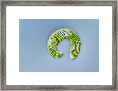 Lepocinclis Protist Framed Print by Gerd Guenther