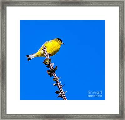 Lesser Goldfinch Framed Print