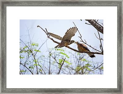 Lesser Kestrel Falco Naumanni Framed Print by Photostock-israel