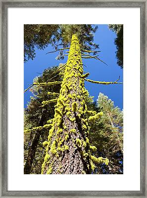 Letharia Framed Print by Ashley Cooper
