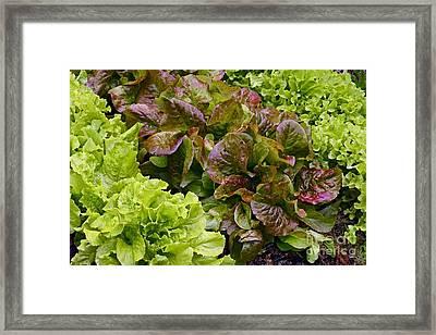 Lettuce Framed Print by Bjorn Svensson