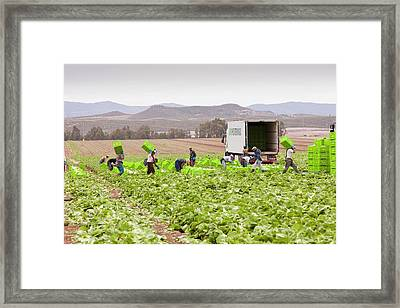 Lettuce Crops Being Harvested Framed Print