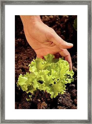 Lettuce Cultivation Framed Print by Mauro Fermariello