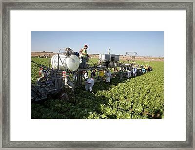 Lettuce Harvest Framed Print