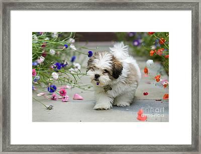 Lhasa Apso Puppy Framed Print