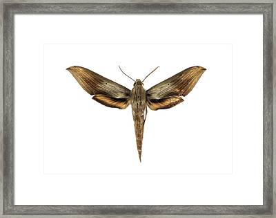 Libya Sphinx Moth Framed Print by F. Martinez Clavel