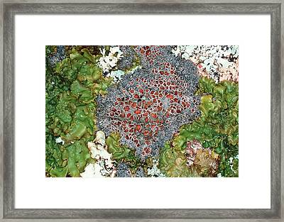 Lichens Framed Print by Dr Jeremy Burgess/science Photo Library