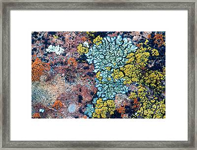 Lichens On A Rock Framed Print by William H. Mullins