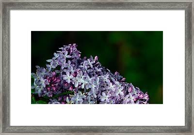 Lilac 4 Framed Print by Simone Ochrym