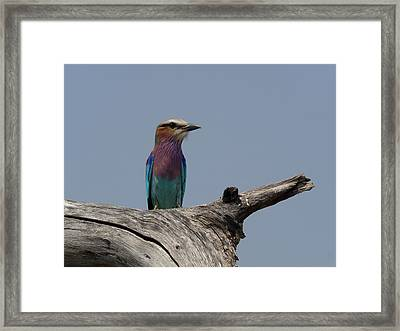 Lilac-breasted Roller Coracias Caudatus Framed Print by Panoramic Images