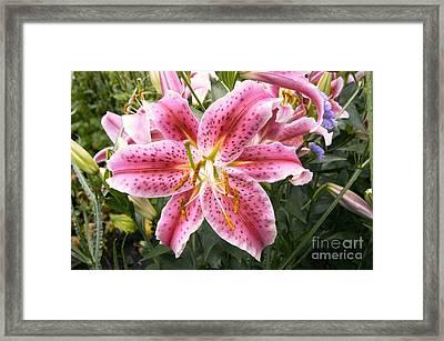 Lily Lilium Stargazer Framed Print by Adrian Thomas