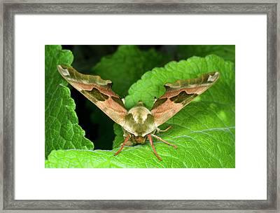 Lime Hawk-moth Framed Print by Nigel Downer