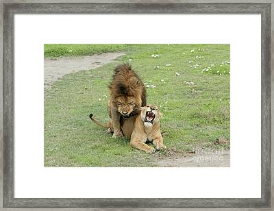 Lion And Lioness Mating Framed Print by PhotoStock-Israel