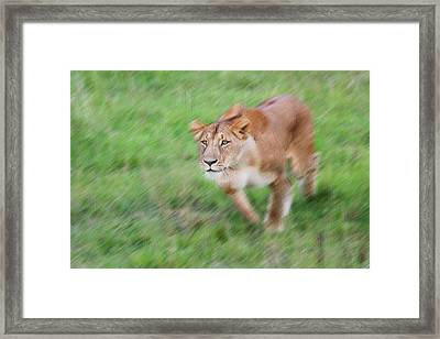 Lion On The Savannah, Maasai Mara Framed Print
