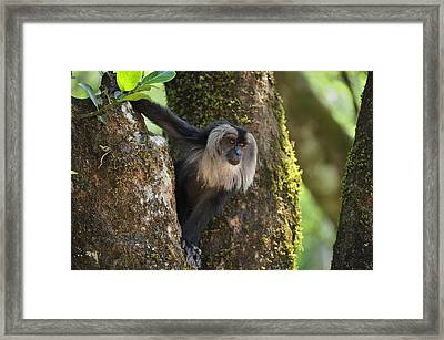Lion-tailed Macaque In Tree India Framed Print by Thomas Marent