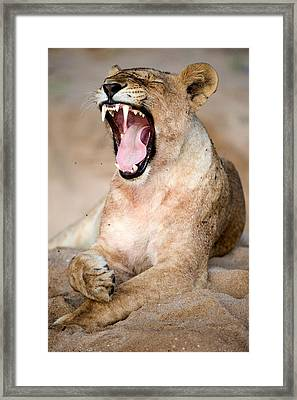Lioness Panthera Leo Yawning Framed Print by Panoramic Images