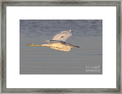 Little Blue Heron Framed Print by Meg Rousher